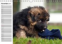 Deutscher Schäferhund - Welpen (Wandkalender 2019 DIN A4 quer) - Produktdetailbild 11