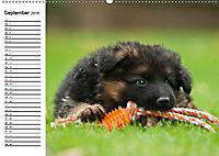 Deutscher Schäferhund - Welpen (Wandkalender 2019 DIN A2 quer) - Produktdetailbild 9