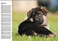Deutscher Schäferhund - Welpen (Wandkalender 2019 DIN A2 quer) - Produktdetailbild 4