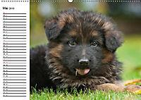 Deutscher Schäferhund - Welpen (Wandkalender 2019 DIN A2 quer) - Produktdetailbild 5