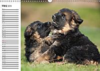 Deutscher Schäferhund - Welpen (Wandkalender 2019 DIN A3 quer) - Produktdetailbild 3