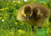 Deutschlands Vogelwelt (Wandkalender 2019 DIN A4 quer) - Produktdetailbild 3
