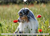 DIE BUNTE WELT DER AUSTRALIAN SHEPHERDS (Wandkalender 2019 DIN A4 quer) - Produktdetailbild 5