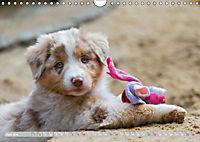 DIE BUNTE WELT DER AUSTRALIAN SHEPHERDS (Wandkalender 2019 DIN A4 quer) - Produktdetailbild 6