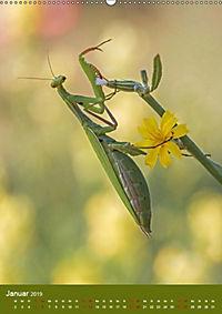 Die Gottesanbeterin. Räuber der Insektenwelt. (Wandkalender 2019 DIN A2 hoch) - Produktdetailbild 4