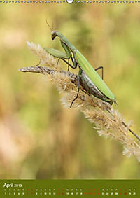 Die Gottesanbeterin. Räuber der Insektenwelt. (Wandkalender 2019 DIN A2 hoch) - Produktdetailbild 9