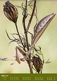Die Gottesanbeterin. Räuber der Insektenwelt. (Wandkalender 2019 DIN A2 hoch) - Produktdetailbild 5