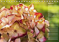 Die Hortensie und ihre vielen Gesichter (Tischkalender 2019 DIN A5 quer) - Produktdetailbild 4