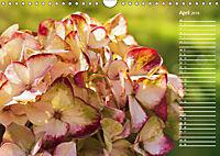 Die Hortensie und ihre vielen Gesichter (Wandkalender 2019 DIN A4 quer) - Produktdetailbild 4