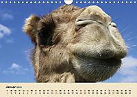Die Kameliden. Hübsche Kamele, Lamas und Alpakas (Wandkalender 2019 DIN A4 quer) - Produktdetailbild 1