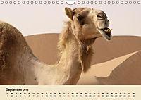 Die Kameliden. Hübsche Kamele, Lamas und Alpakas (Wandkalender 2019 DIN A4 quer) - Produktdetailbild 9