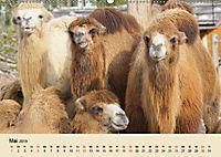 Die Kameliden. Hübsche Kamele, Lamas und Alpakas (Wandkalender 2019 DIN A2 quer) - Produktdetailbild 5