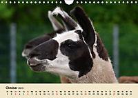 Die Kameliden. Hübsche Kamele, Lamas und Alpakas (Wandkalender 2019 DIN A4 quer) - Produktdetailbild 10