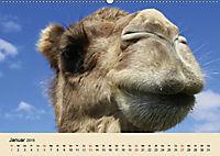 Die Kameliden. Hübsche Kamele, Lamas und Alpakas (Wandkalender 2019 DIN A2 quer) - Produktdetailbild 1