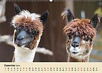 Die Kameliden. Hübsche Kamele, Lamas und Alpakas (Wandkalender 2019 DIN A2 quer) - Produktdetailbild 12