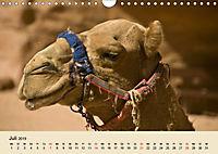 Die Kameliden. Hübsche Kamele, Lamas und Alpakas (Wandkalender 2019 DIN A4 quer) - Produktdetailbild 7