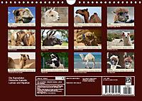 Die Kameliden. Hübsche Kamele, Lamas und Alpakas (Wandkalender 2019 DIN A4 quer) - Produktdetailbild 13