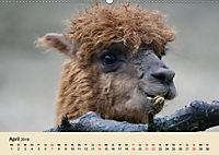Die Kameliden. Hübsche Kamele, Lamas und Alpakas (Wandkalender 2019 DIN A2 quer) - Produktdetailbild 4