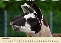 Die Kameliden. Hübsche Kamele, Lamas und Alpakas (Wandkalender 2019 DIN A2 quer) - Produktdetailbild 10
