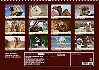 Die Kameliden. Hübsche Kamele, Lamas und Alpakas (Wandkalender 2019 DIN A2 quer) - Produktdetailbild 13