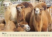 Die Kameliden. Hübsche Kamele, Lamas und Alpakas (Tischkalender 2019 DIN A5 quer) - Produktdetailbild 5