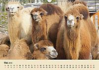 Die Kameliden. Hübsche Kamele, Lamas und Alpakas (Wandkalender 2019 DIN A3 quer) - Produktdetailbild 5