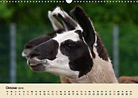 Die Kameliden. Hübsche Kamele, Lamas und Alpakas (Wandkalender 2019 DIN A3 quer) - Produktdetailbild 10