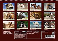 Die Kameliden. Hübsche Kamele, Lamas und Alpakas (Wandkalender 2019 DIN A3 quer) - Produktdetailbild 13