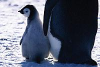 Die Reise der Pinguine - Produktdetailbild 1
