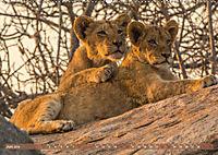 Die Welt der Löwen (Wandkalender 2019 DIN A2 quer) - Produktdetailbild 6