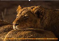 Die Welt der Löwen (Wandkalender 2019 DIN A2 quer) - Produktdetailbild 3