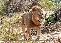 Die Welt der Löwen (Wandkalender 2019 DIN A2 quer) - Produktdetailbild 8