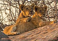 Die Welt der Löwen (Wandkalender 2019 DIN A3 quer) - Produktdetailbild 6
