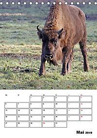 Die Wisente sind los (Tischkalender 2019 DIN A5 hoch) - Produktdetailbild 5