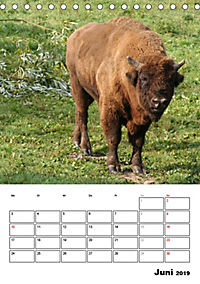 Die Wisente sind los (Tischkalender 2019 DIN A5 hoch) - Produktdetailbild 6