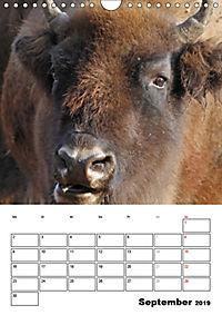 Die Wisente sind los (Wandkalender 2019 DIN A4 hoch) - Produktdetailbild 9