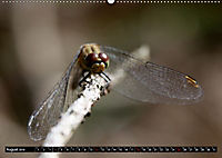 Drachenfliegen und Teufelsnadeln (Wandkalender 2019 DIN A2 quer) - Produktdetailbild 8