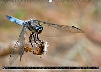 Drachenfliegen und Teufelsnadeln (Wandkalender 2019 DIN A2 quer) - Produktdetailbild 4