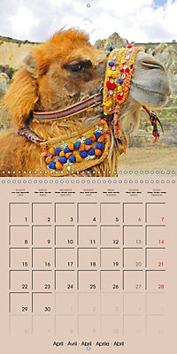 Dromedary and Camel - Giants of the Desert (Wall Calendar 2019 300 × 300 mm Square) - Produktdetailbild 4