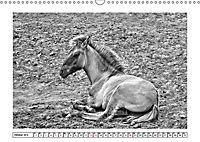 Dülmener Wildpferde im Münsterland in schwarz und weiß (Wandkalender 2019 DIN A3 quer) - Produktdetailbild 7