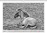 Dülmener Wildpferde im Münsterland in schwarz und weiss (Wandkalender 2019 DIN A3 quer) - Produktdetailbild 10