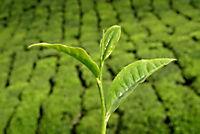Echter Tee, 2 Pflanzen - Produktdetailbild 1