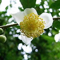 Echter Tee, 2 Pflanzen - Produktdetailbild 2