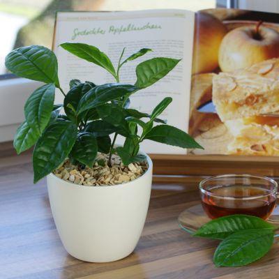 Echter Tee, 2 Pflanzen