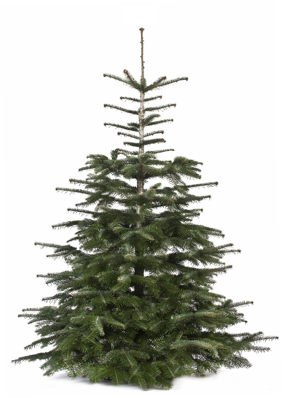 Nordmanntanne Weihnachtsbaum.Echter Weihnachtsbaum Nordmanntanne Premium 150 175 Cm Geschlagen