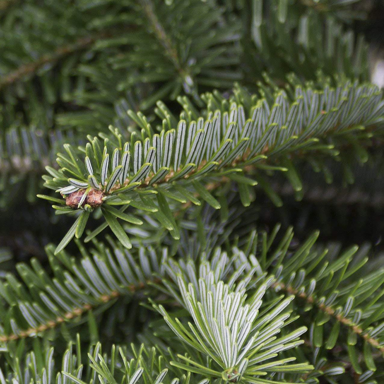 Künstlicher Tannenbaum Nordmanntanne.Echter Weihnachtsbaum Nordmanntanne Premium 175 200 Cm Geschlagen