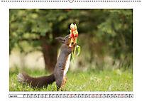 Eichhörnchen - Hast du Nüsschen mache ich Männchen (Wandkalender 2019 DIN A2 quer) - Produktdetailbild 4