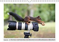 Eichhörnchen - Hast du Nüsschen mache ich Männchen (Wandkalender 2019 DIN A4 quer) - Produktdetailbild 1