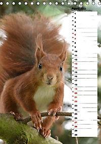 Eichhörnchen - kleine Tiere, große Liebe (Tischkalender 2019 DIN A5 hoch) - Produktdetailbild 6