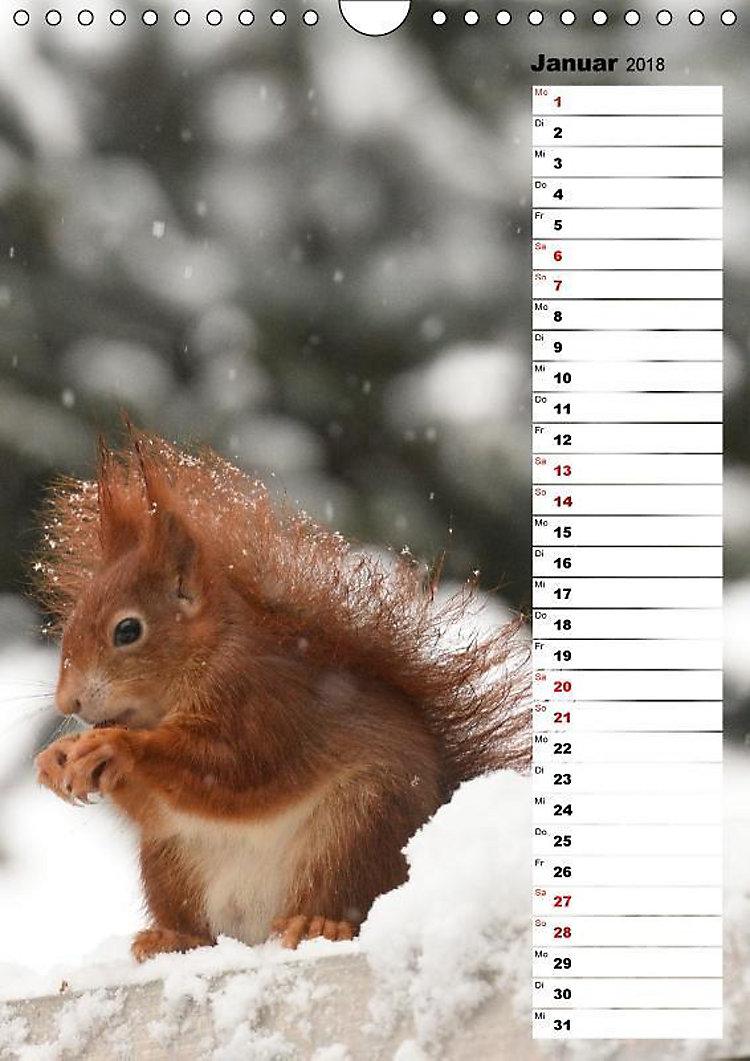 eichhörnchen  kleine tiere große liebe wandkalender 2018